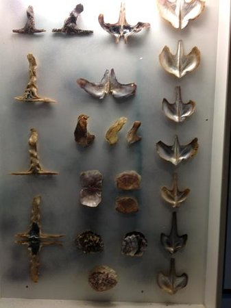 Indo Pacific Marine :                   a display of the many oyster shells