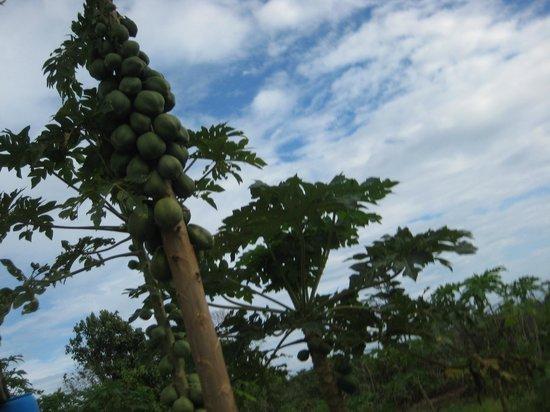 Ocho Rios Fort: papaya tree, loaded with fruits