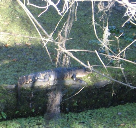 Lettuce Lake Regional Park: alligator on cypress log