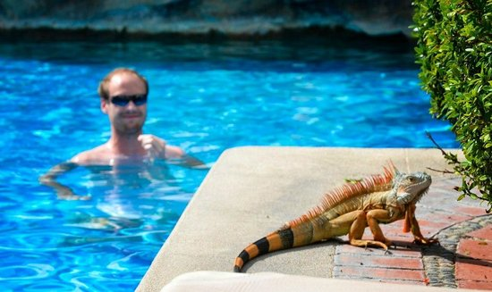 Sheraton Buganvilias Resort & Convention Center:                   Iguanas by the pool