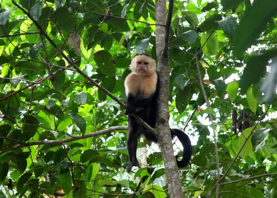 Jinetes de Osa Hotel:                   Many monkeys right outside the hotel!