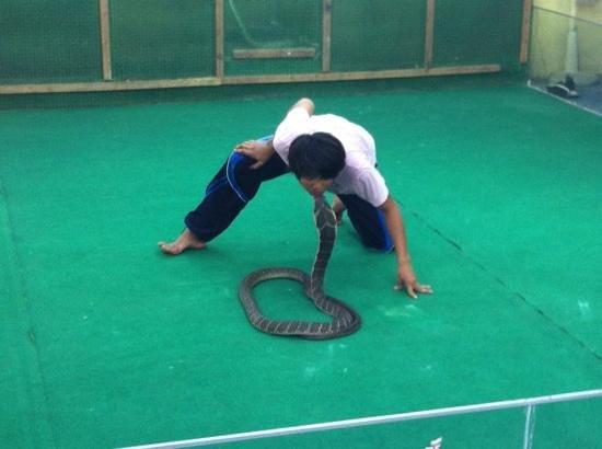 Samui Crocodile Farm :                   kysser en kongekobra og man kan tydeligt se, han har respekt for slangerne