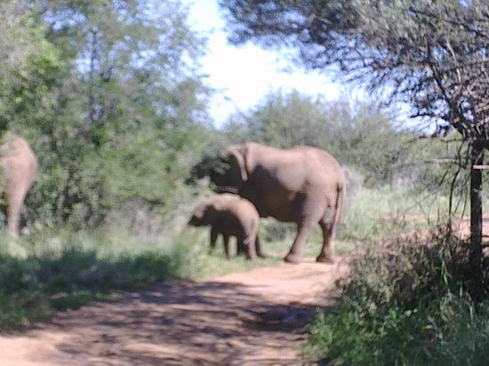 Pilanesberg National Park, South Africa:                   Mummy and mumphie Ellies