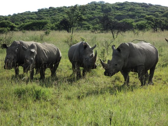 Nambiti Hills Private Game Lodge:                   Rhinos tea party
