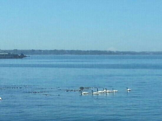Isla de Chiloé, Chile: familia de cisnes del cuello negro, canal de chacao