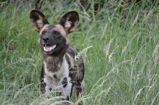 Madikwe Safari Lodge: Wild dog
