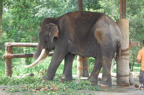 Pinnawala Elephant Orphanage:                   Blind Elephant chained to posts