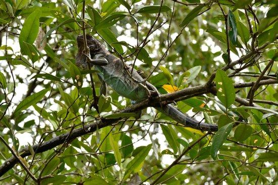 Priss Tours (Mangrove Monkey Tour) :                   Iquana