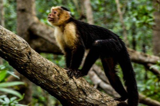 Priss Tours (Mangrove Monkey Tour) :                   Monkey