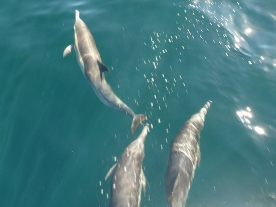 Capt. Dave's Dolphin & Whale Watching Safari: Common Dolphins riding the bow break