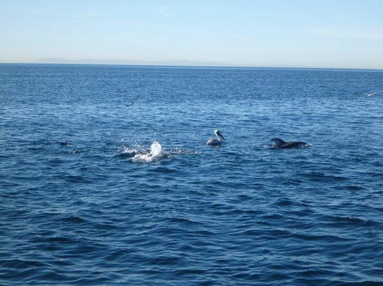 Capt. Dave's Dolphin & Whale Watching Safari: White sided dolphins.