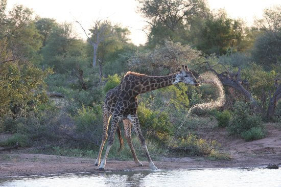 Tanda Tula Safari Camp:                   Giraffe drinking and spraying water