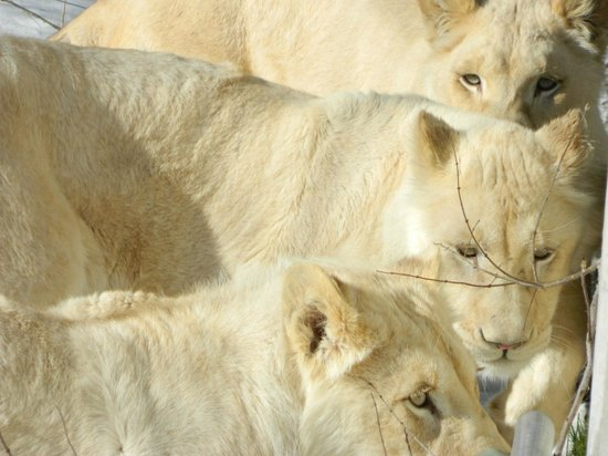 Toronto Zoo : New White Lions