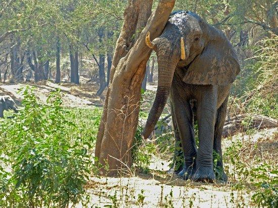 Old Mondoro Bush Camp: Elefant ganz nahe bei