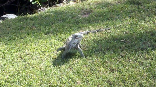 The Green Iguana Hotel: Iguana we saw in St. Thomas