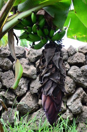 Cabañas Tautira: plantas de platano en las Cabañas