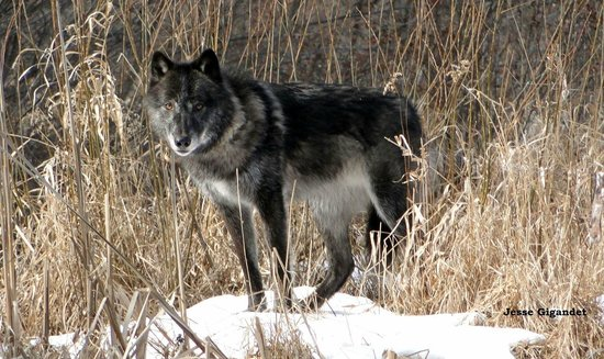 Wilmington, NY: Zeebie, a great plains wolf.