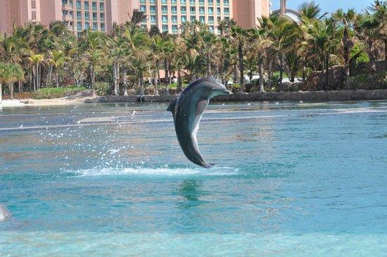 Paradise Island, New Providence Island: Dolphin Jumping