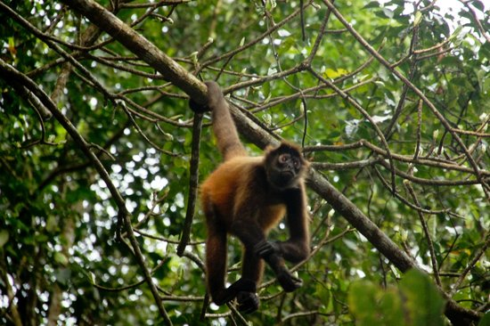 El Remanso Lodge:                   Spider monkey on beach trail