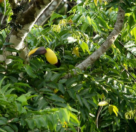 El Remanso Lodge:                   Toucan near lodge