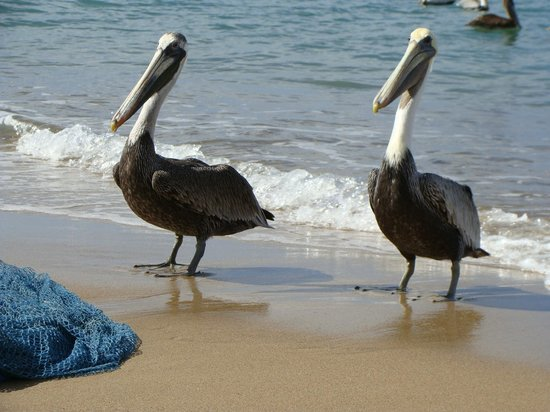 Nelson Spring Beach Resort :                   Pelicans on the beach