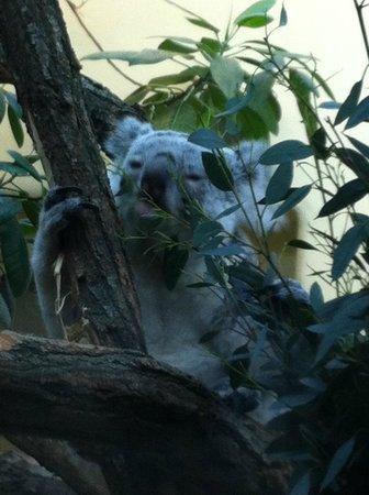 Tiergarten Schoenbrunn - Zoo Vienna: Koala bear