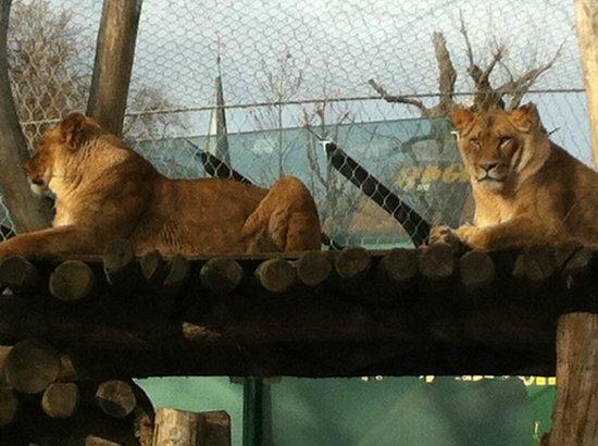 Tiergarten Schoenbrunn - Zoo Vienna: lazy cats