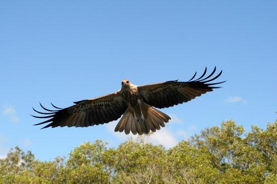 Tweed Endeavour Rainforest Cruise: Feeding the birds of prey