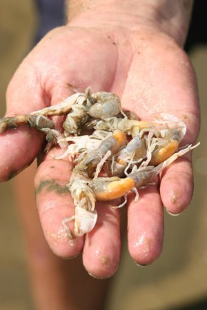 Tweed Endeavour Cruises: Yabbies!