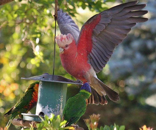 Briardale Bed & Breakfast: Lorikeets & Galah