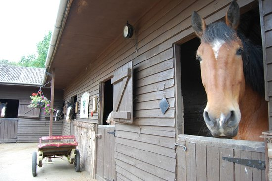 Dorset Heavy Horse Farm Park:                   Some of the beautiful horses in their stables