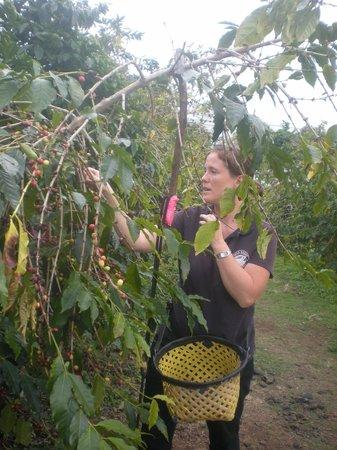 Hula Daddy Kona Coffee : The coffee trees
