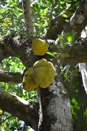 Praslin Adası, Seyşeller: Fruits du jacquier