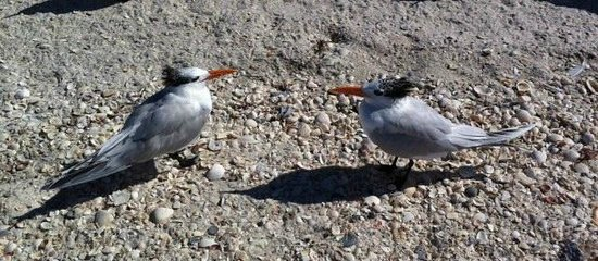 Clam Pass Park: 2 Royal Terns on the beach