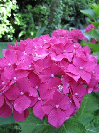 Hotel Mediterraneo: Ortensie in fiore nel nostro giardino!
