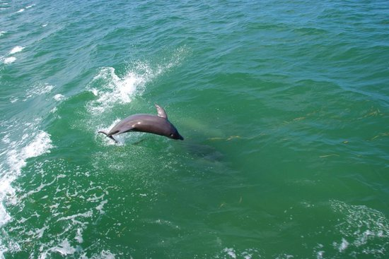 Blind Pass Condominiums: Dolphins frequently visit Blind Pass Beach
