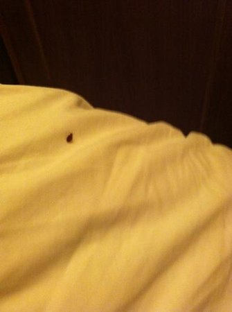 Hotel Benvenuti:                                     tick in the bed!!! garrapatas en la cama!