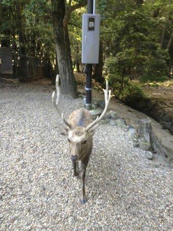 Parco Nara:                   Асоциальный самец