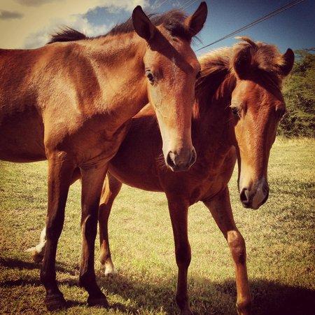 Vieques National Wildlife Refuge: Wild horses!