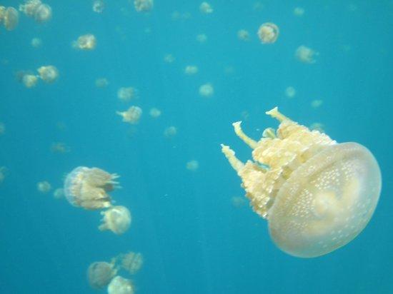 Sohoton Lagoon : schools of jellyfishes