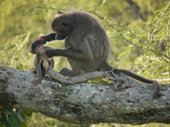Wild Wings Safaris:                   Baboon