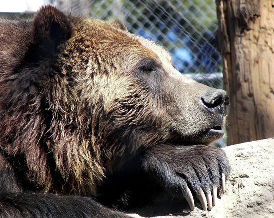 Big Bear Alpine Zoo at Moonridge: Grizzly Bear Tutu who was rescued when she became a three strikes bear
