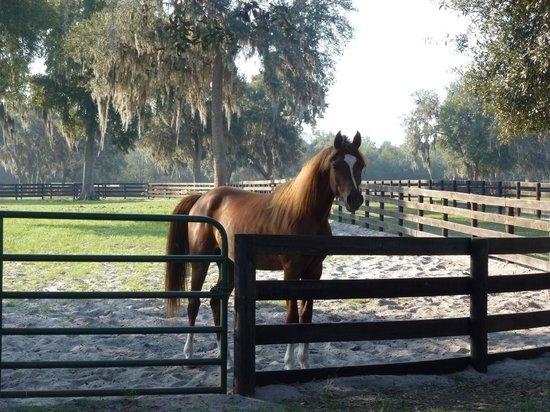Arabian Horse At Hennessey Arabian Farm Picture Of Farm Tours Of Ocala Ocala Tripadvisor