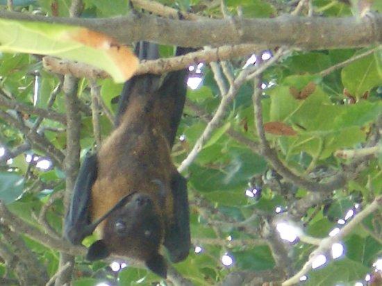 Soneva Fushi Resort:                   Cranky fruit bat