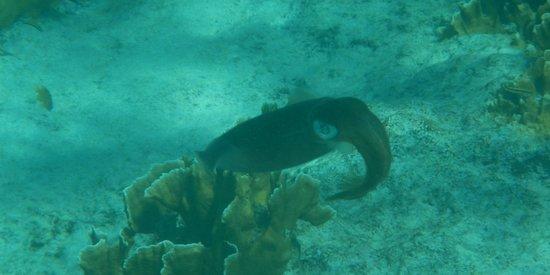 H2O Visions Bonaire:                   Squid!