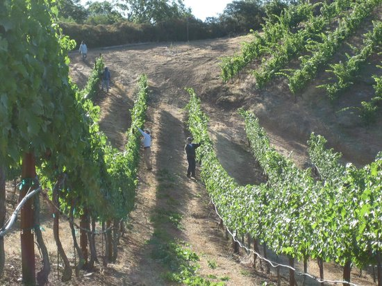 BobDog Winery: Steep terrain planted with Cabernet