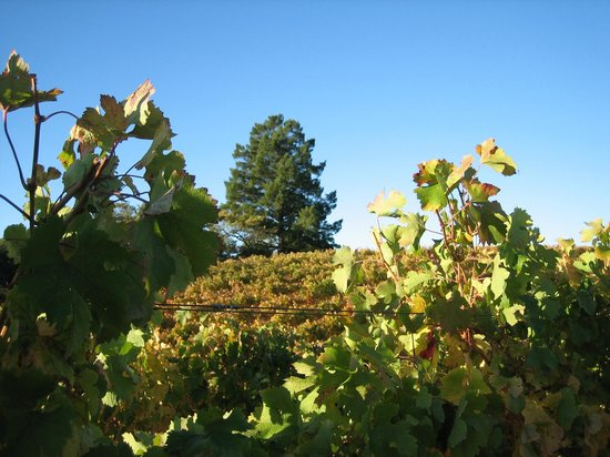 BobDog Winery: The inconic Sky Pine visible from Alexander Valley