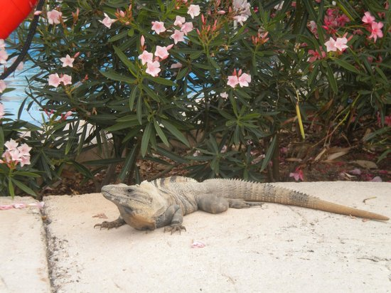 Heaven at the Hard Rock Hotel Riviera Maya:                   Iguana are everywhere! :)