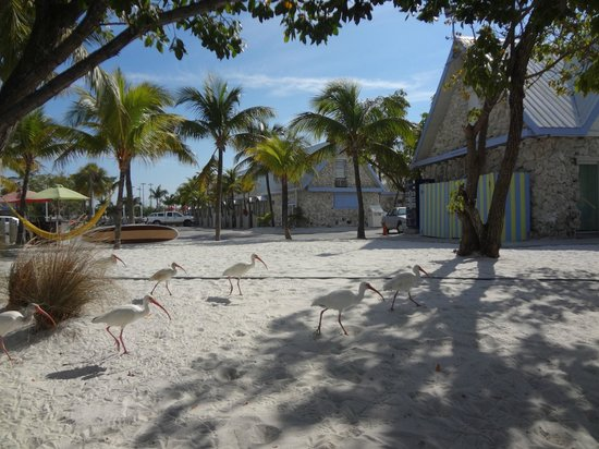 Ibis Bay Beach Resort:                   The namesake ibis