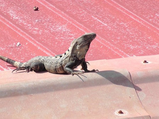 Popeyes Beach Resort:                   Director of Security, Mr. Iguana